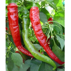 piment long fort gros cayenne